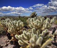 Cholla Kaktus-Garten Stockfotos