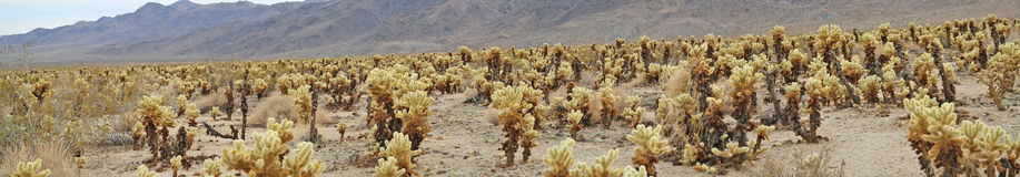 Cholla-Kaktus-Garten - Panorama Lizenzfreies Stockfoto