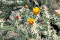 Cholla kaktus w kwiacie w wiośnie Zdjęcie Stock