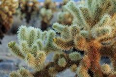 Cholla Kaktusa Ogród Fotografia Royalty Free