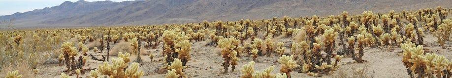 Cholla kaktusa ogród - panorama Zdjęcie Royalty Free