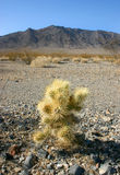 Cholla kaktusa ogród w Joshua drzewa parku narodowym, Kalifornia Fotografia Royalty Free