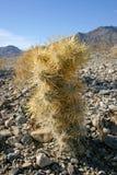 Cholla kaktusa ogród w Joshua drzewa parku narodowym, Kalifornia Obraz Royalty Free