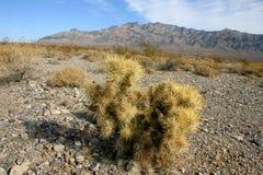 Cholla kaktusa ogród w Joshua drzewa parku narodowym, Kalifornia Zdjęcie Stock