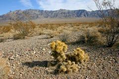 Cholla kaktusa ogród w Joshua drzewa parku narodowym, Kalifornia, Cy Zdjęcie Stock