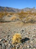 Cholla kaktusa ogród w Joshua drzewa parku narodowym, Kalifornia, Cy Fotografia Stock