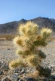Cholla kaktusa ogród w Joshua drzewa parku narodowym, Kalifornia, Cy Obrazy Stock