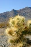 Cholla kaktusa ogród w Joshua drzewa parku narodowym, Kalifornia, Cy Obraz Stock