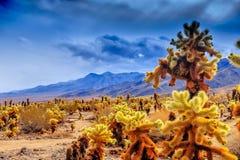 Cholla kaktusa ogród w Joshua drzewie Zdjęcie Stock