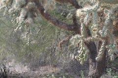 Cholla kaktusowy czekanie dla zdobycza Fotografia Stock
