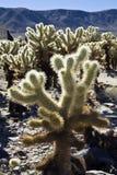 cholla kaktusowy ogród fotografia royalty free