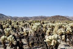 cholla kaktusowy pole Zdjęcie Stock