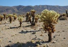 Cholla kaktusträdgård på Joshua Tree National Park, Kalifornien royaltyfria foton