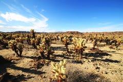 Cholla kaktusträdgård på Joshua Tree National Park, Kalifornien Arkivfoto