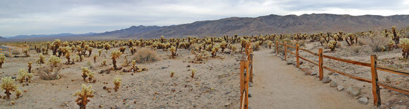 Cholla kaktusträdgård - panorama Royaltyfria Bilder