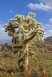 cholla niedźwiadkowy kaktusowy miś pluszowy Zdjęcia Royalty Free