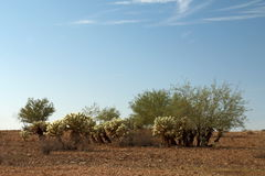 Cholla Patch with Mesquite stock photography
