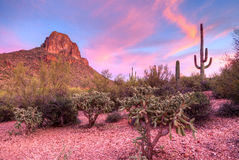 Cholla. Sonoran Desert at sunset, in Arizona royalty free stock photography