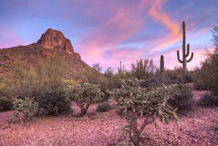 Cholla. Sonoran Desert at sunset, in Arizona royalty free stock images