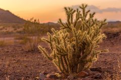 Cholla at sunset. Beautiful cholla cactus in the desert at sunset Royalty Free Stock Images