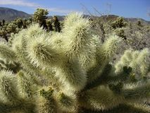 Joshua Tree-cholla XCU Stock Fotografie