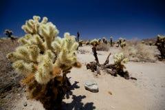 Chollacactus in Joshua Tree National Park Stock Foto's