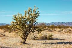 Chollacactus in Mojave-Woestijn, Californië, Verenigde Staten royalty-vrije stock afbeeldingen
