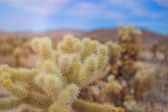 Chollas Joshua drzewa Kaktusowy park narodowy, Kalifornia Fotografia Royalty Free