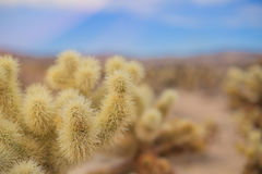 Chollas-Kaktus Joshua Tree National Park, Kalifornien Stockbild