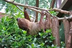 Choloepus Didactylus Two-toed Sloth animal climbing upside down on hanging tree royalty free stock photo