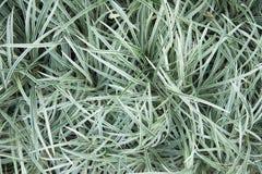 Cholorophytum för spindelväxt comosum L Royaltyfri Fotografi