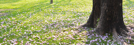 Chom-poo-pun-tip flower. On the ground in autumn season of thailand Stock Photo