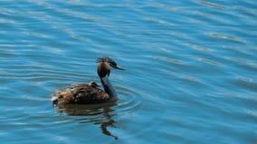 Chomga simmar den utmärkt krönade doppingen med en fågelunge på hans baksida längs den blåa sjön royaltyfria foton