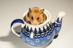 Chomik w ceramicznym garnku dla herbaty Obraz Stock