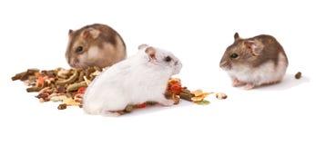 Chomiki na białym tle, chomiki jedzą suchego jedzenie obrazy stock