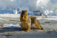 Chomping do esquilo Foto de Stock