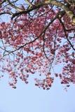 Chompu Pantip Flower Stock Image