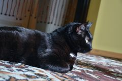 Chomutov, republika czech - Czerwiec 19, 2018 czarny kot wymieniający Violka jest łgarski na podłoga w żywym pokoju i odpoczywać  obraz stock