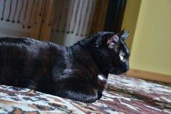 Chomutov Tjeckien - Juni 19, 2018 den svarta katten som namnges Violka, ligger på golv i vardagsrummet och vilar på aftondurinen fotografering för bildbyråer