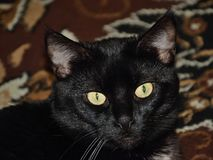 Chomutov, Tsjechische republiek - 30 September, 2018: zwarte kat Violka op vloer in woonkamer royalty-vrije stock fotografie