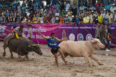 Chonburi水牛城种族。  图库摄影