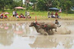 CHONBURI, TAILÂNDIA - 7 DE JULHO: piloto não identificado no festival de competência do búfalo o 7 de julho de 2013. Chonburi, Tai Fotos de Stock