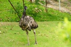 Chonburi, Tailandia - 22 de julio de 2018: Pájaro de la avestruz y portr delantero foto de archivo