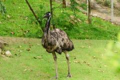 Chonburi, Tailandia - 22 de julio de 2018: Pájaro de la avestruz y portr delantero imagenes de archivo