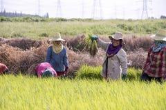 Chonburi, Tailandia, il 9 settembre 2016: Colle dell'agricoltore della Tailandia Immagine Stock Libera da Diritti