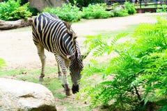 Chonburi Tajlandia, Lipiec, - 22, 2018: Zebra i przodu portret wewnątrz Fotografia Stock