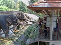 Chonburi/Thaïlande - 15 avril 2018 : Les jeunes alimentant au tronc du ` s d'éléphant dans le zoo ouvert de Khao Kheow images libres de droits