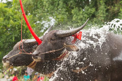 CHONBURI, THAILAND - JULI 7: De buffels nemen een bad te ontspannen tijdens Royalty-vrije Stock Fotografie