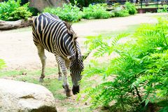 Free Chonburi, Thailand - July 22, 2018: Zebra And Front Portrait In Stock Photography - 123237142