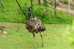 Chonburi, Thailand - July 22, 2018: Ostrich bird and front portrait in the Khao Kheow Open Zoo at Siracha. stock images